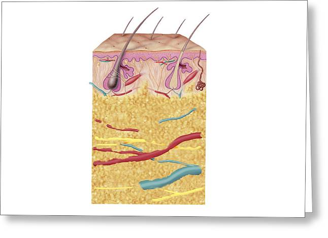 Sweat Digital Art Greeting Cards - Anatomy Of The Human Skin Greeting Card by Carlyn Iverson