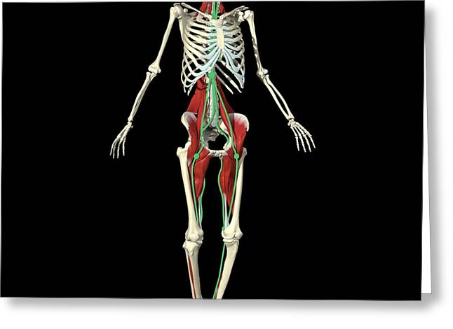 Full Body Greeting Cards - Anatomy Trains Greeting Card by Medical Images, Universal Images Group