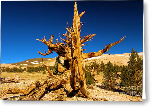 Oldest Living Tree Greeting Cards - Ancient Branch Greeting Card by Adam Jewell
