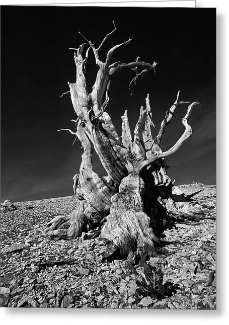 Ancient Bristlecone Pine Tree Clings Greeting Card by Jerry Ginsberg