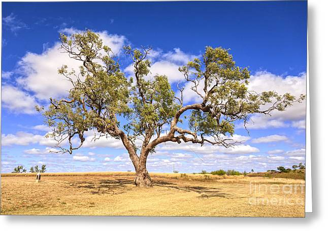 Waltz Greeting Cards - Ancient Coolabah Tree Greeting Card by Colin and Linda McKie