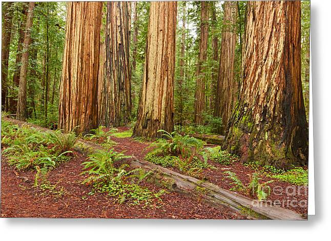 Pristine Coastal Forests Greeting Cards - Ancient Forest - The massive giant redwoods Sequoia sempervirens in Redwood National Park. Greeting Card by Jamie Pham