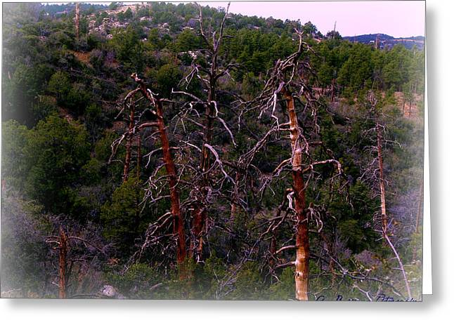 Prescott Greeting Cards - Ancient Ponderosa Pines and Forested Mountainside Greeting Card by Aaron Burrows