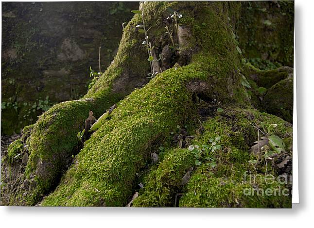 Magical Pyrography Greeting Cards - Ancient root tree with moss Greeting Card by Dr Mador