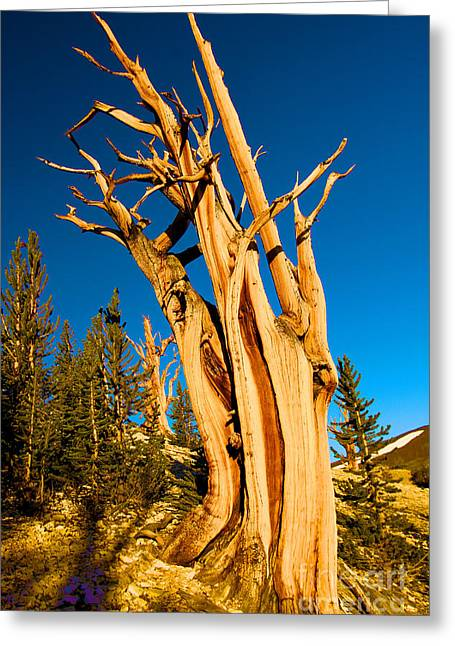 Oldest Living Tree Greeting Cards - Ancient Twist Greeting Card by Adam Jewell
