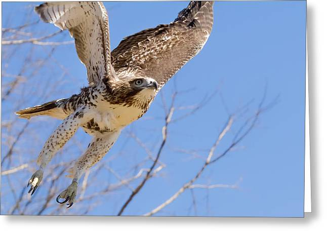 Redtail Hawks Greeting Cards - And Away I Go Greeting Card by Bill  Wakeley