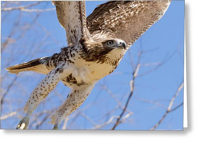 Redtail Hawks Greeting Cards - And Away I Go Square Greeting Card by Bill  Wakeley