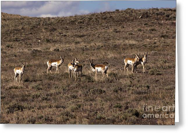 Herd Bound Greeting Cards - And The Antelope Play Greeting Card by Janice Rae Pariza