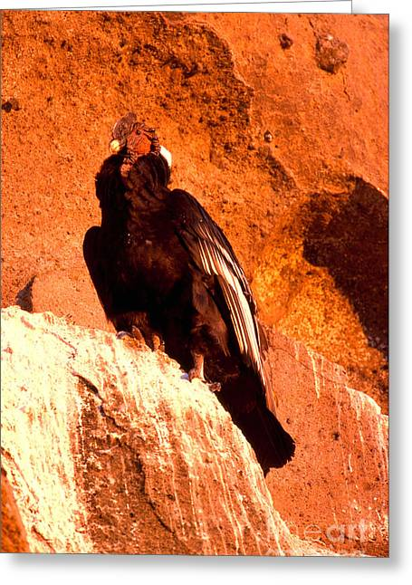 Andean Greeting Cards - Andean Condor Greeting Card by Art Wolfe