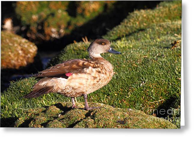 Andean Greeting Cards - Andean Crested Duck Greeting Card by James Brunker