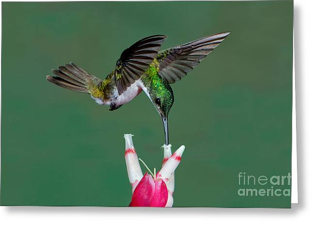 Andean Greeting Cards - Andean Emerald Hummingbird Greeting Card by Anthony Mercieca