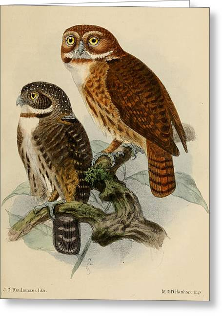 Andean Pygmy Owl Greeting Card by J G Keulemans