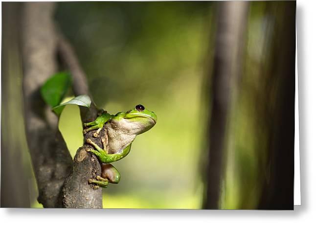 Tree Frog Photographs Greeting Cards - Andean tree frog Hypsiboas riojanus Greeting Card by Dirk Ercken