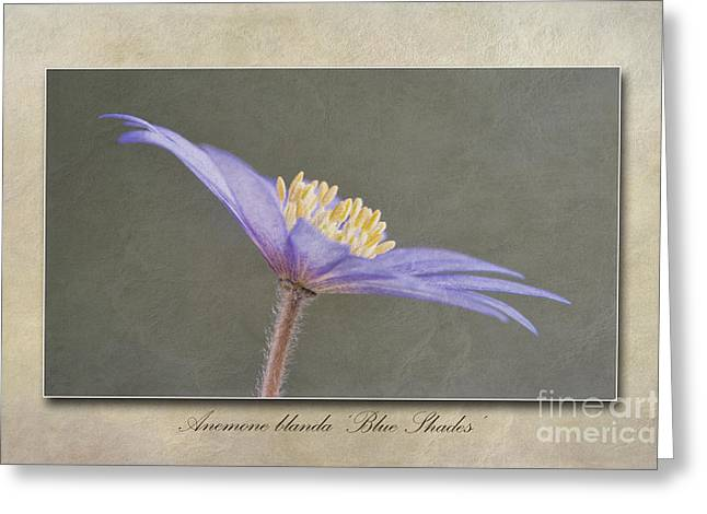 Anemone Greeting Cards - Anemone blanda Blue Shades Greeting Card by John Edwards