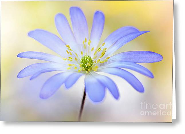Anemone Blanda Greeting Card by Jacky Parker