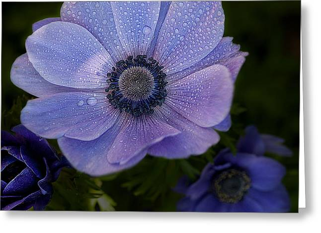 Caroline Pirskanen Greeting Cards - Anemone Greeting Card by Caroline Pirskanen