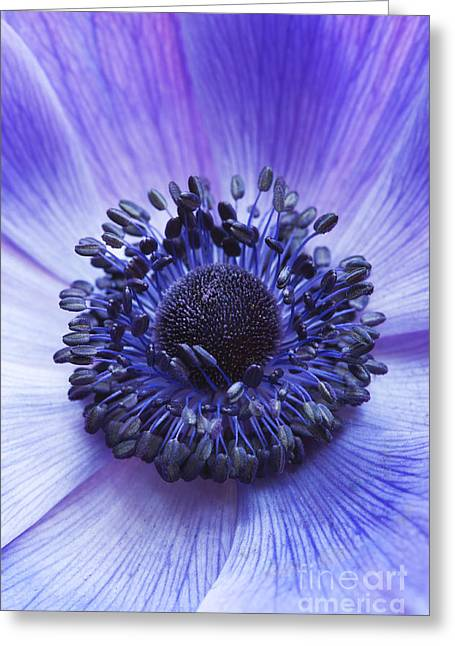 Anther Greeting Cards - Anemone Coronaria Greeting Card by Tim Gainey