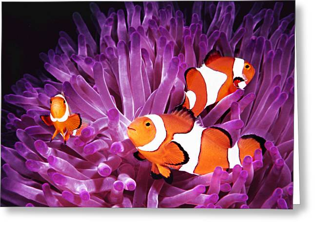 Diving Dog Greeting Cards - Anemone fish Greeting Card by Jodi Jacobson