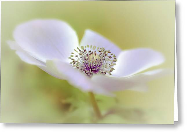 Nature Center Greeting Cards - Anemone in White Greeting Card by Julie Palencia