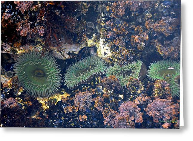 Sea Anemone Greeting Cards - Anemone Line Greeting Card by Donna Blackhall