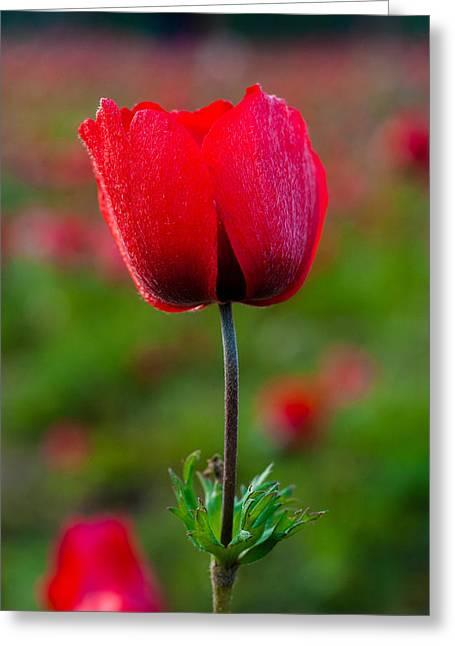 Anemone Coronaria Greeting Cards - Anemone Greeting Card by Meir  Jacob