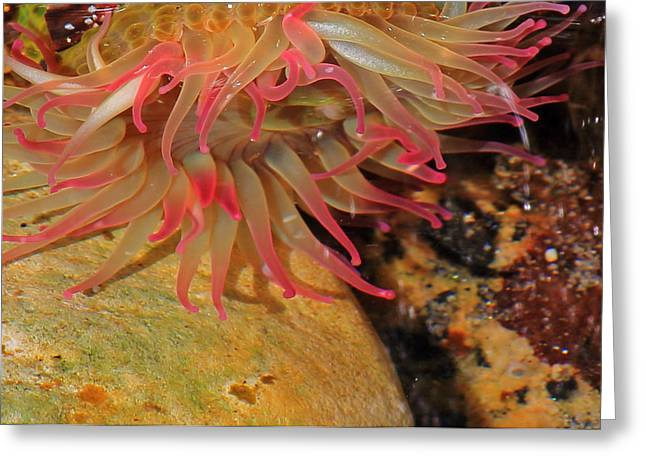 Sea Anemone Greeting Cards - Anemone Greeting Card by Randy Hall