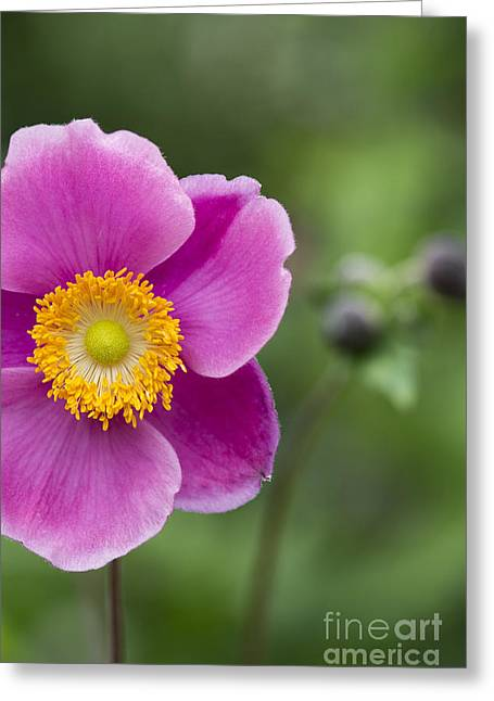 Anther Greeting Cards - Anemone Greeting Card by Tim Gainey