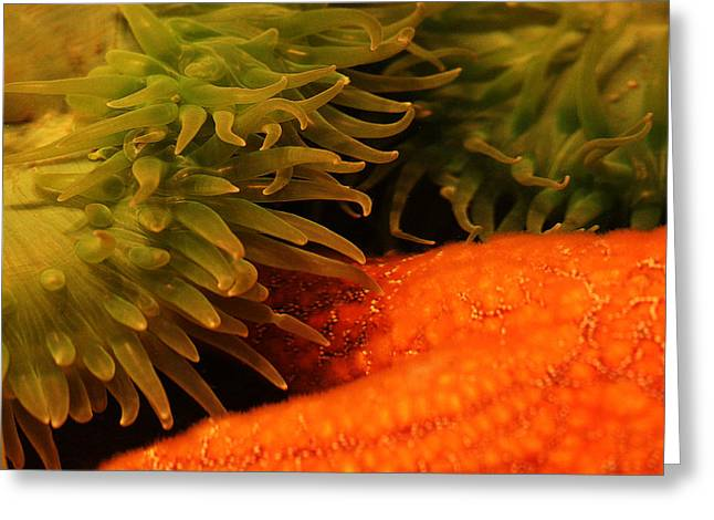 Sea Anenome Greeting Cards - Anenome and Starfish Greeting Card by Robert Woodward