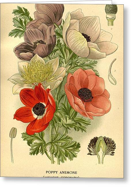 Anenome Greeting Cards - Anenomes Greeting Card by Philip Ralley