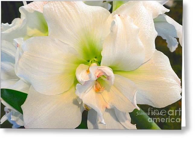 Bouquet Amaryllis Greeting Cards - Angel Dust B Greeting Card by Jeannie Rhode Photography
