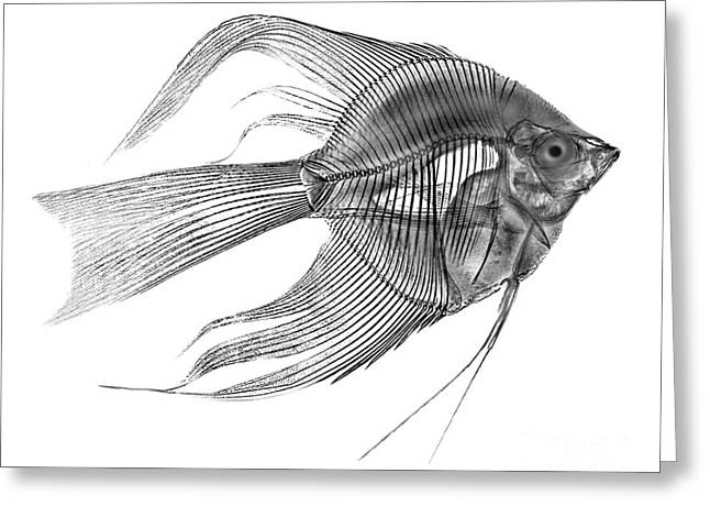 Aquarium Fish Greeting Cards - Angel Fish X-ray Greeting Card by Bert Myers