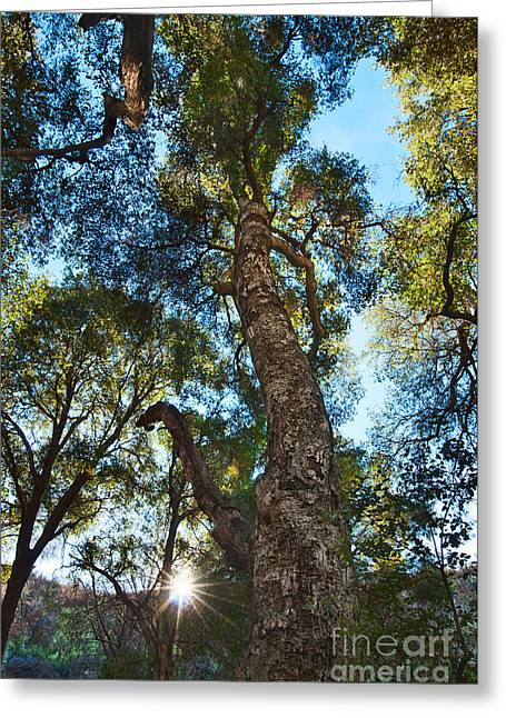Angeles Forest Greeting Cards - Angeles Sun -Beautiful tree with Sunburst in Angeles National Forest in the San Gabriel Mountails Greeting Card by Jamie Pham