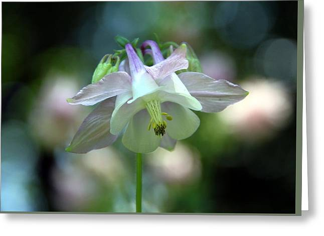 Andrea Lazar Greeting Cards - Angelic Aquilegia Greeting Card by  Andrea Lazar