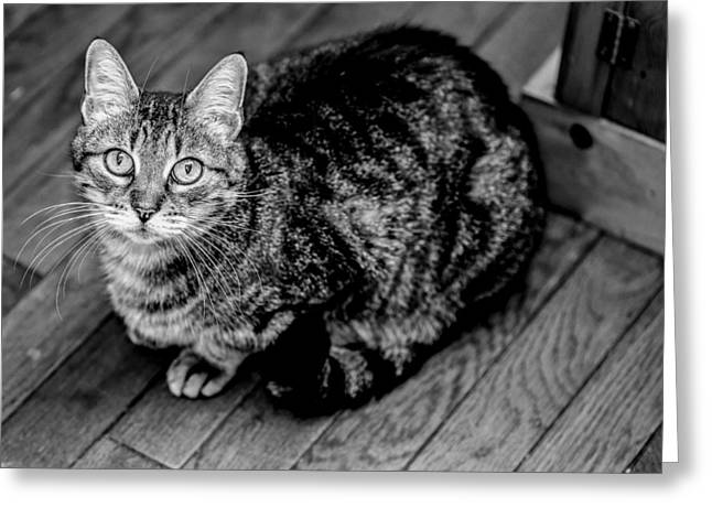 American Shorthair Greeting Cards - Angelic BW Greeting Card by Anita Miller