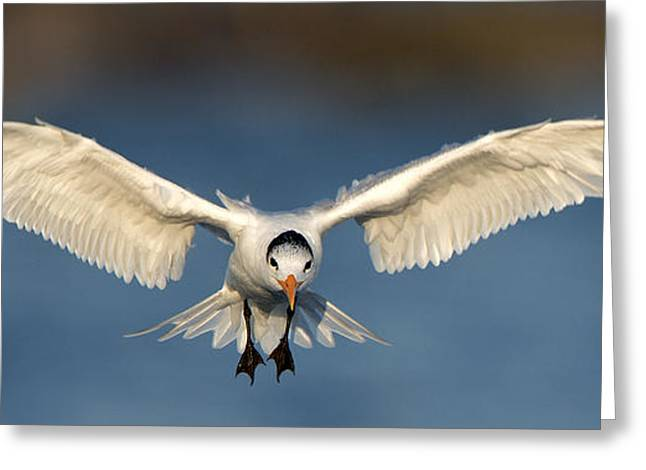 Tern Greeting Cards - Angelic Like Greeting Card by Mike Fitzgerald