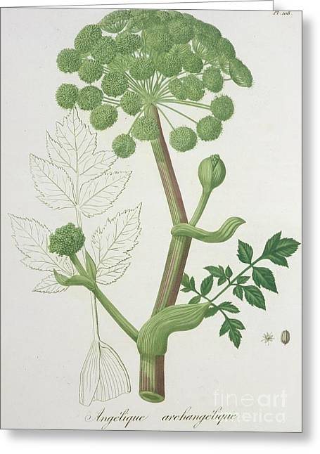 Angelica Greeting Cards - Angelica Archangelica from Phytographie Medicale by Joseph Roques  Greeting Card by L F J Hoquart