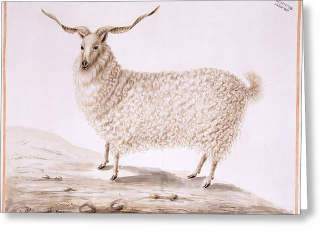 Angora Greeting Cards - Angora goat, 18th century Greeting Card by Science Photo Library