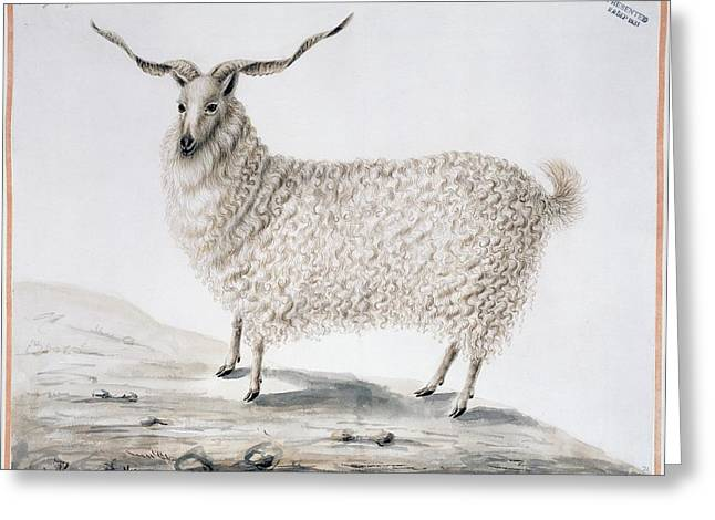 Eutheria Greeting Cards - Angora goat, artwork Greeting Card by Science Photo Library