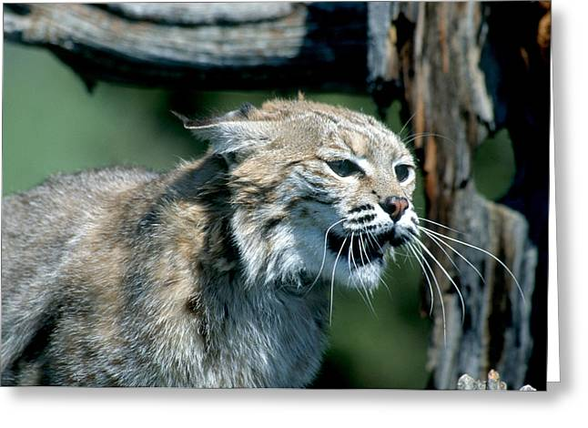Bobcats Greeting Cards - Angry and Treed Bobcat Greeting Card by Larry Allan