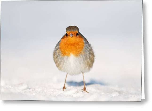 Passerine Greeting Cards - Angry Bird _ Robin in the Snow Greeting Card by Roeselien Raimond