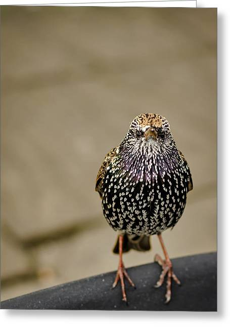 Starlings Greeting Cards - Angry Bird Greeting Card by Heather Applegate