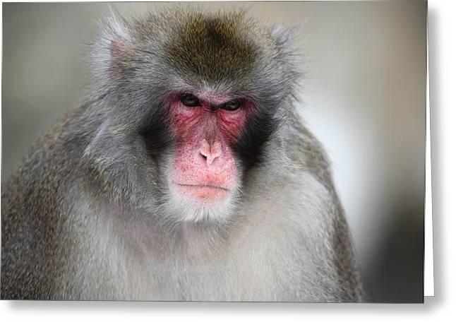 Alex Sukonkin Greeting Cards - Angry Japanese Macaque  portrait Greeting Card by Alex Sukonkin