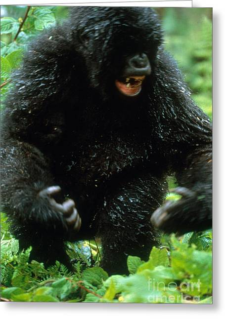 Angry Mountain Gorilla Greeting Card by Art Wolfe