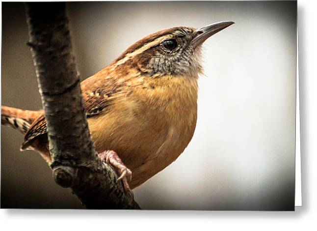 Jahred Allen Photography Greeting Cards - Angry Wren Greeting Card by Jahred Allen