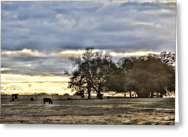 Angus Evening Greeting Card by Jan Amiss Photography