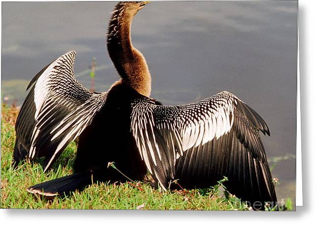 Florida Wild Turkey Greeting Cards - Anhinga Anhinga Anhinga Drying Plumage Greeting Card by Millard H. Sharp