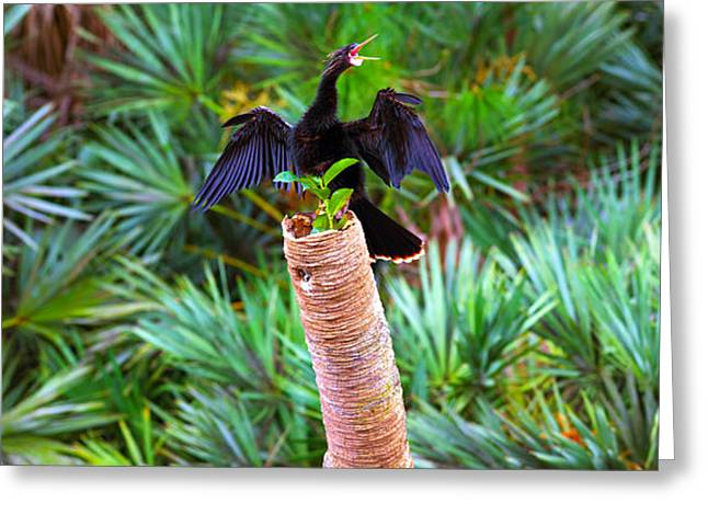 Anhinga Greeting Cards - Anhinga Anhinga Anhinga On A Tree Greeting Card by Panoramic Images