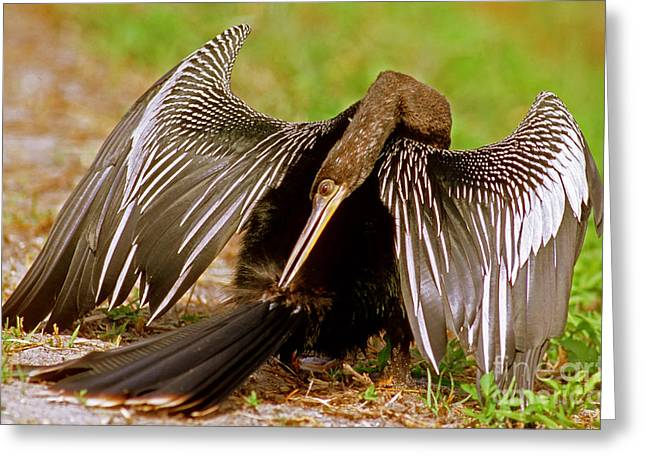 Anhinga Greeting Cards - Anhinga Anhinga Anhinga Preening Greeting Card by Millard H. Sharp
