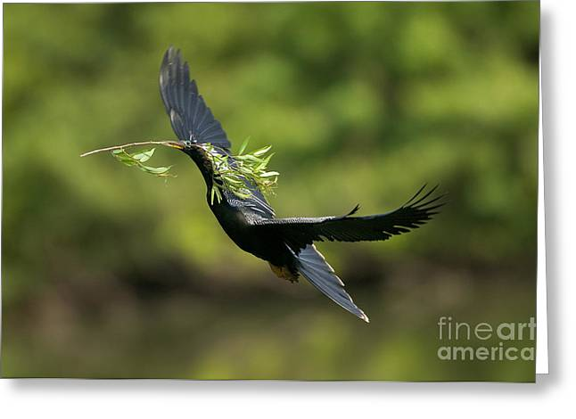 Florida Wild Turkey Greeting Cards - Anhinga Greeting Card by Anthony Mercieca