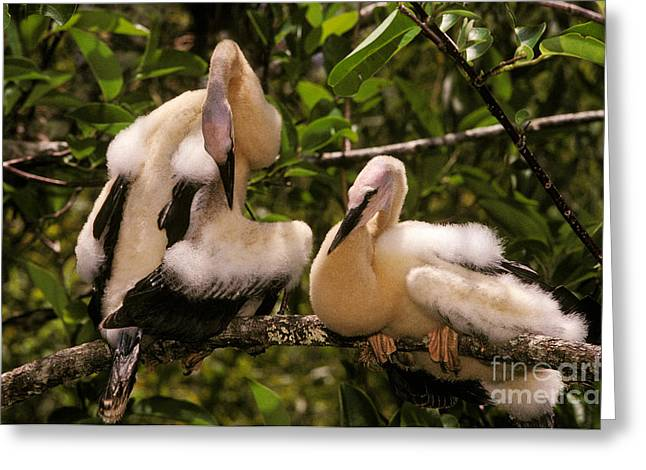 Anhinga Chicks Greeting Card by Ron Sanford
